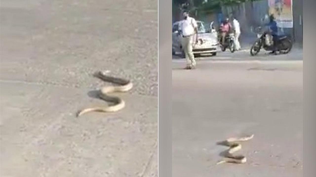مار کبرا در خیابان
