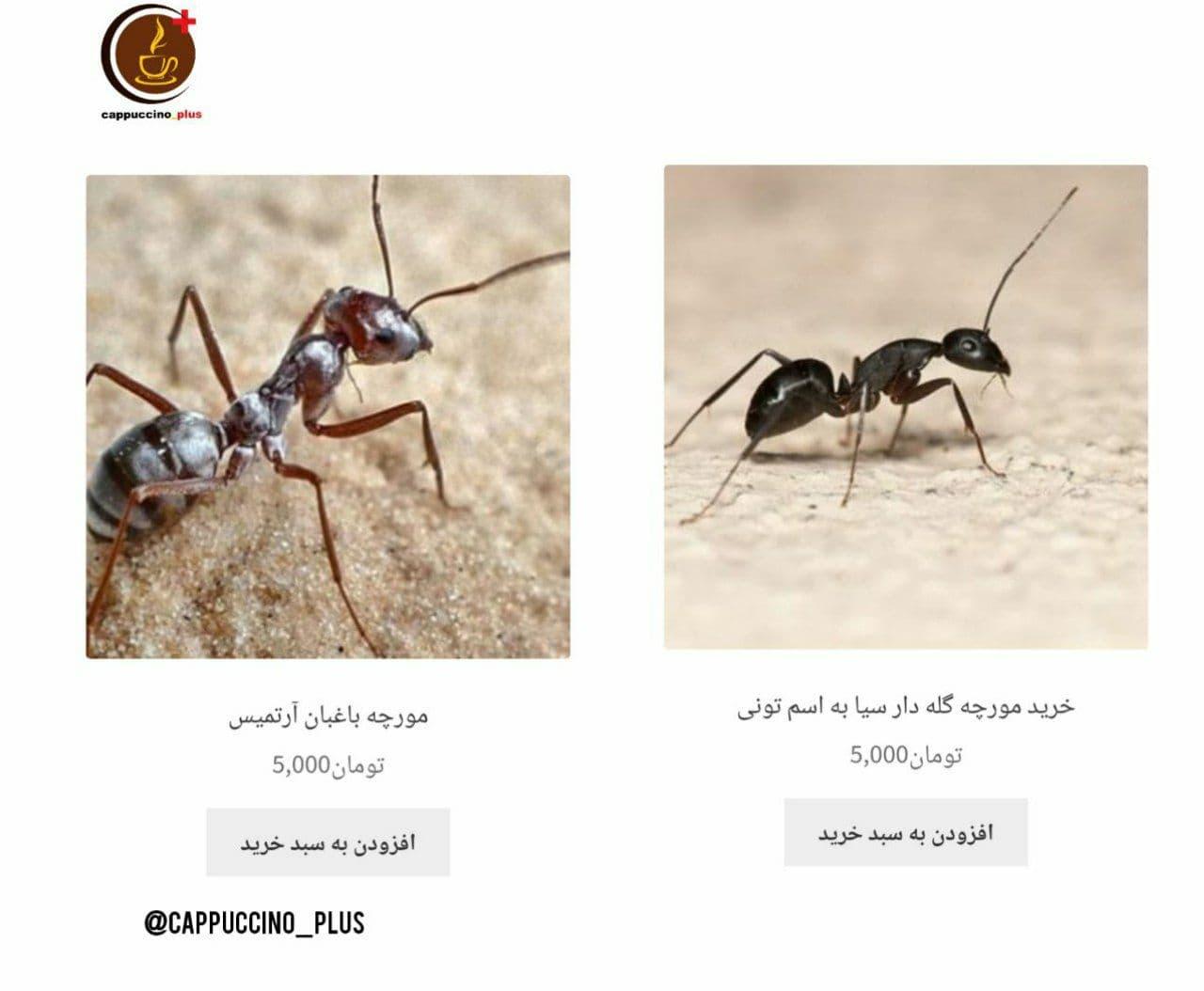 فروش مورچه گله دار