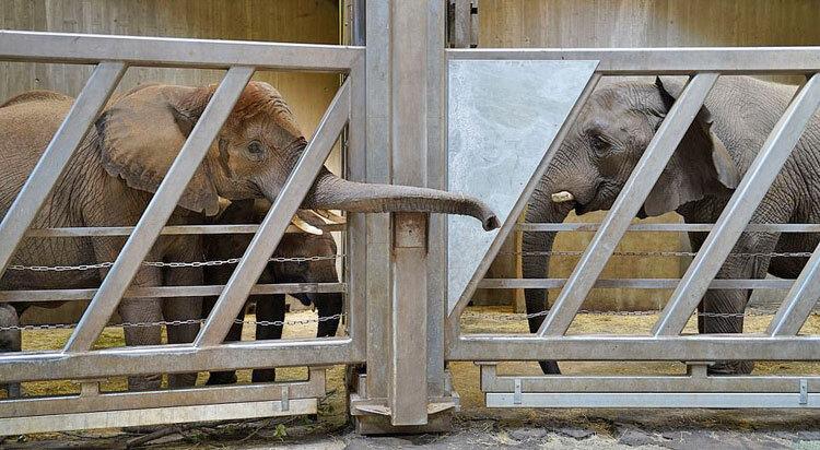 وقتی فیل مادر پس از ۱۲ سال دختر و نوهها را میبیند +عکس