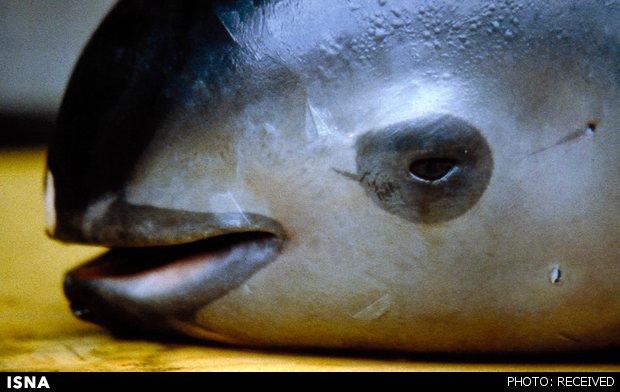 کوچکترین«گرازماهی»جهان در آستانه انقراض +عکس