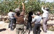 باغداران در تعیین قیمت پسته نقشی ندارند