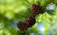 کاشت درخت کاج به بهانه روز درختکاری درست است؟