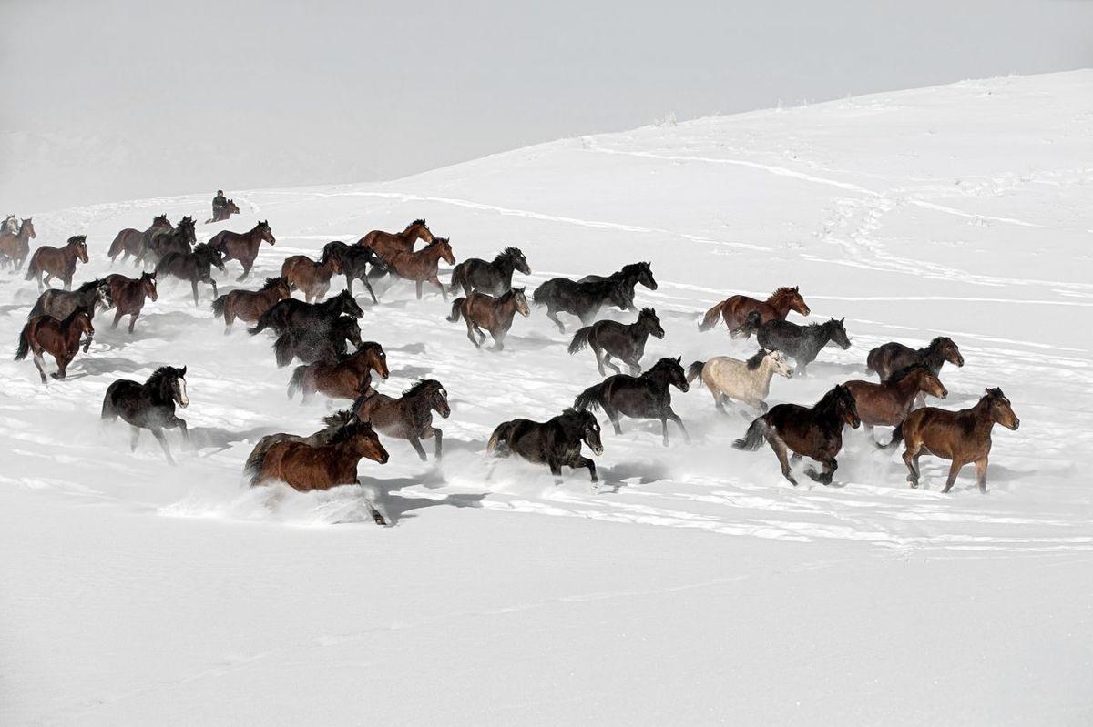 عکس: اسبهای وحشی در برف