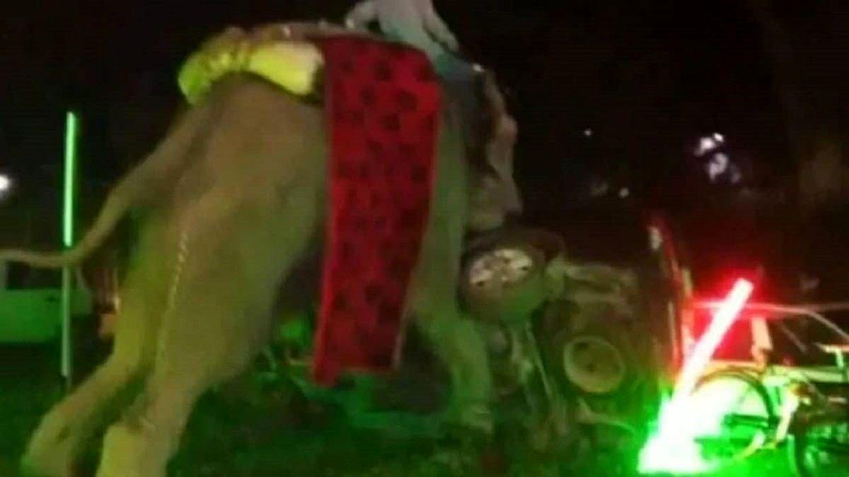 فیل خشمگین از انفجار ترقه، مراسم عروسی را بهم ریخت!