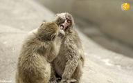 وقتی میمون ماکاک دندانپزشک میشود! +تصاویر