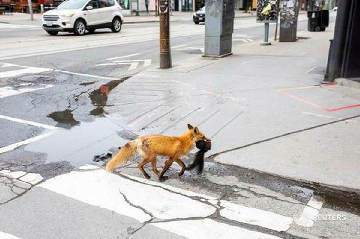 عکس: شکار سنجاب توسط روباه در خیابانهای تورنتو