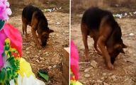 فیلم: صحنهای باورنکردنی از وفاداری یک سگ به صاحبش!