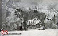 عکس: ببر مازندران در باغ وحش برلین سال ۱۸۹۹