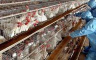 معاون حجتی: انباشت تولید مرغ داریم