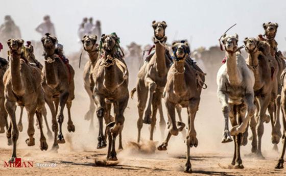 تصاویر: مسابقه شتر دوانی در مصر