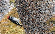 پرنده ای در حال ذخیره کردن غذا +عکس