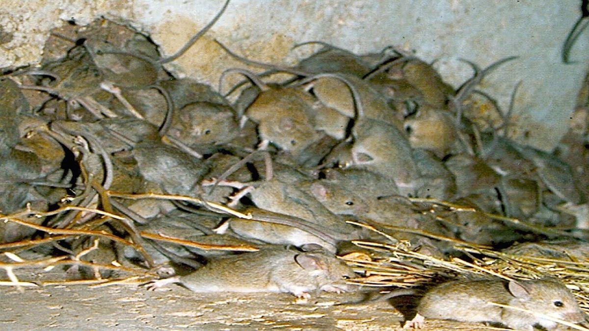 هجوم هزاران موش به خانهای در استرالیا خبرساز شد! +فیلم