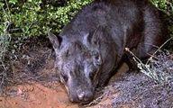 تولد نوعی حیوان کمیاب در حال انقراض +عکس