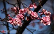 تصاویر: جشنواره شکوفههای گیلاس