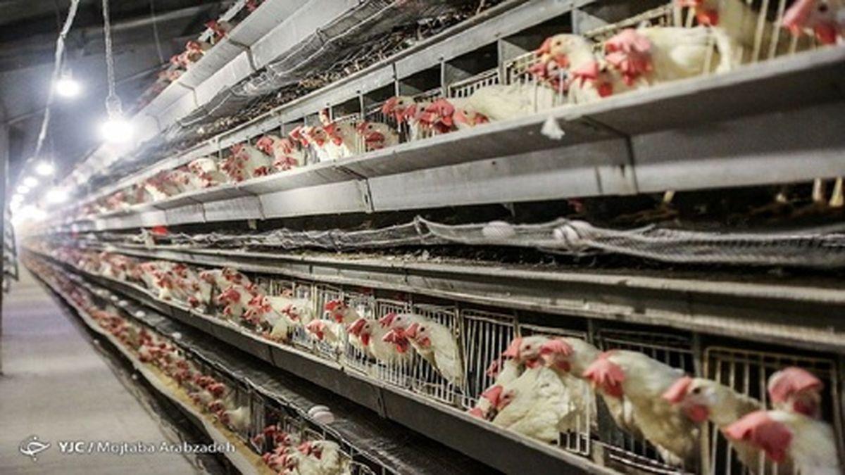قیمت هر کیلو مرغ در خرده فروشیها چند؟