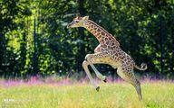 تصاویر: تولد زرافه در حال انقراض در باغ وحش برلین