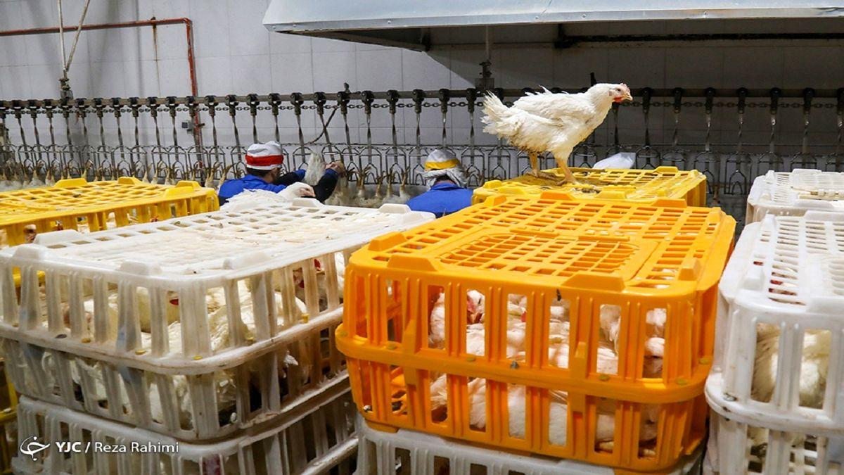 پیش بینی درباره آینده بازار مرغ