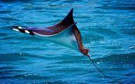 سواحل کیش میزبان یک موجود مرگبار اما زیبا +تصاویر