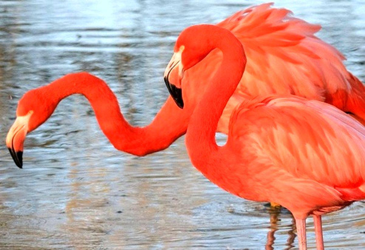 عکس: فلامینگوهای صورتی رنگ در باغ وحش انگلیس