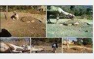 زانو زدن یک شتر در کنار قبر صاحبش! +عکس