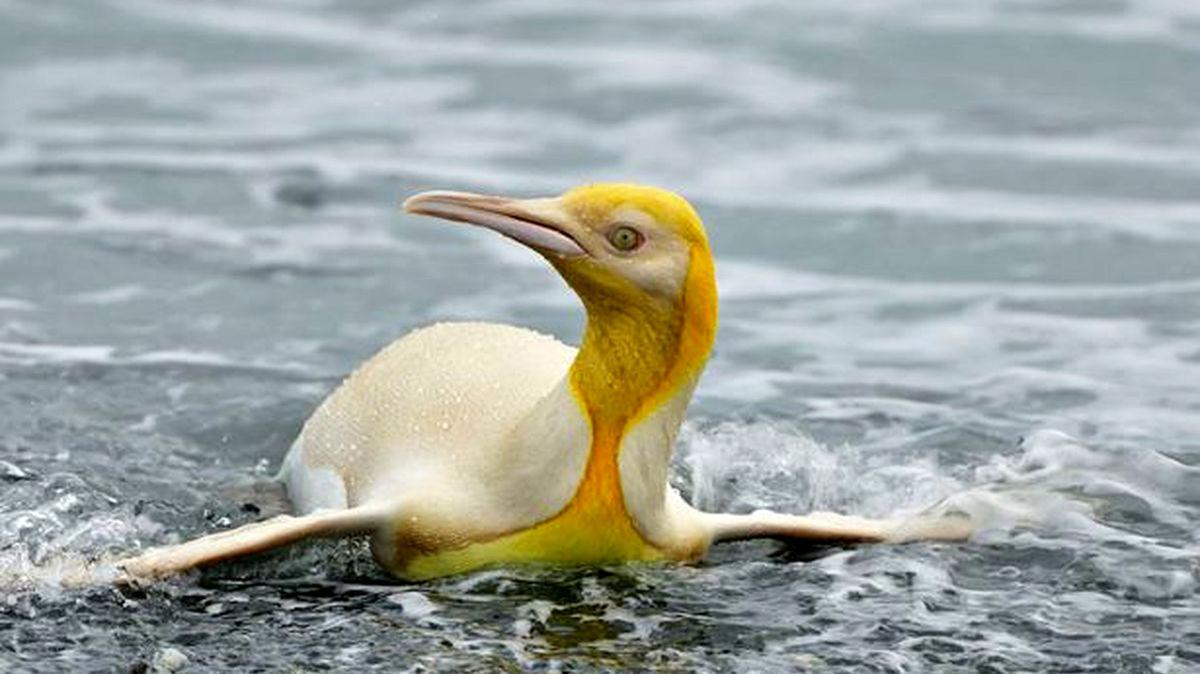 تاحالا پنگوئن زرد دیده اید +عکس