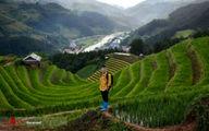 تصاویر: مزارع برنج پلکانی ویتنام