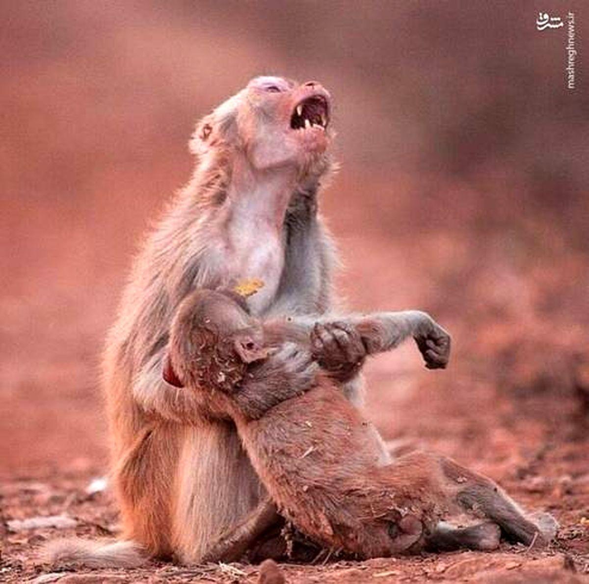 گریه میمون مادر پس از مرگ فرزندش +عکس
