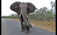 عشق عجیب فیل مادر به بچه اش! +فیلم