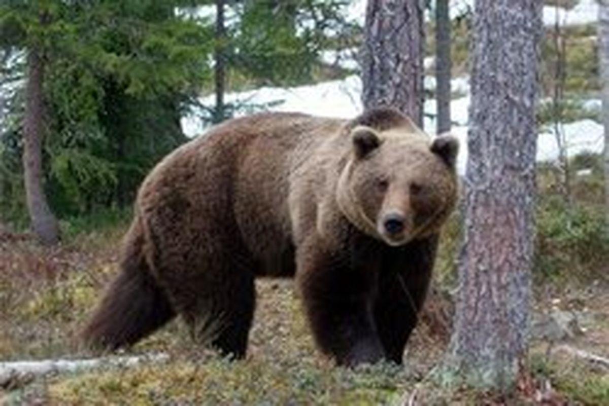 شکارچیان خرس ۶ساله در بوانات دستگیر شدند