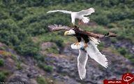 نبرد دیدنی پرنده تیزپرواز در آسمان +تصاویر