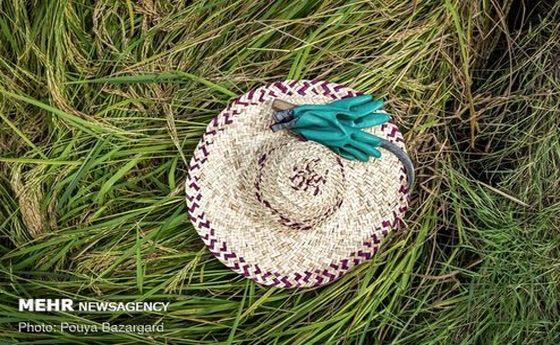تصاویر: رنجی که برنج گیلان از باران برد