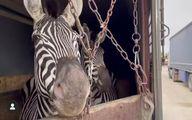 واکنش سازمان محیط زیست به تلف شدن گورخر آفریقایی