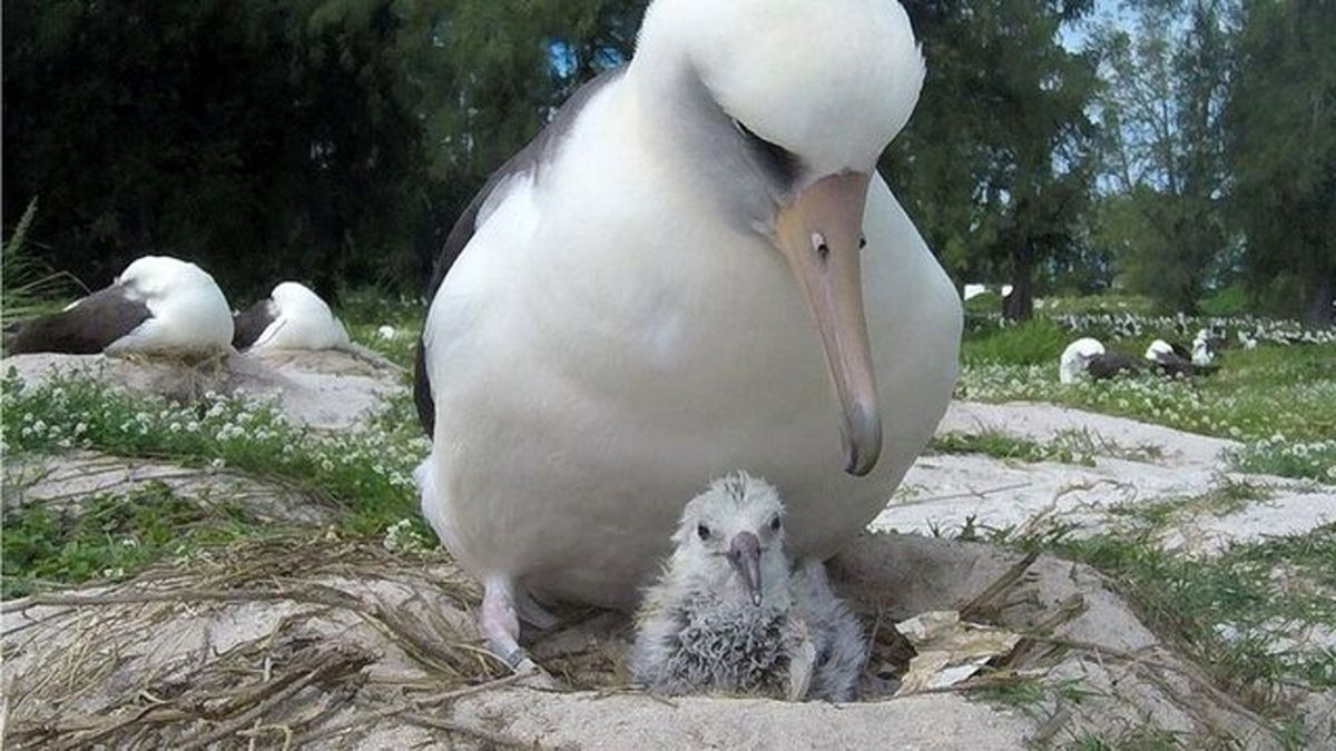 پرنده ۷۰ ساله جوجه آورد! +عکس