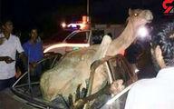 عکس تصادف وحشتناک شتر با آریو / شتر زنده ماند راننده مرد