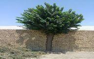 احترام متفاوت یک یزدی به درخت +عکس