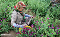 تصاویر: دشتهای «گل گاوزبان» در مازندران