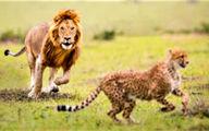 فیلم: حمله میخکوب کننده ۲ شیر به یک یوزپلنگ