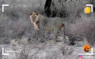 درس تلخ کفتار از نزدیک شدن به شیرها +فیلم