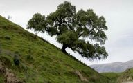 ماجرای تلخ تک درخت تنهای روستای تفریحی ایذه +عکس